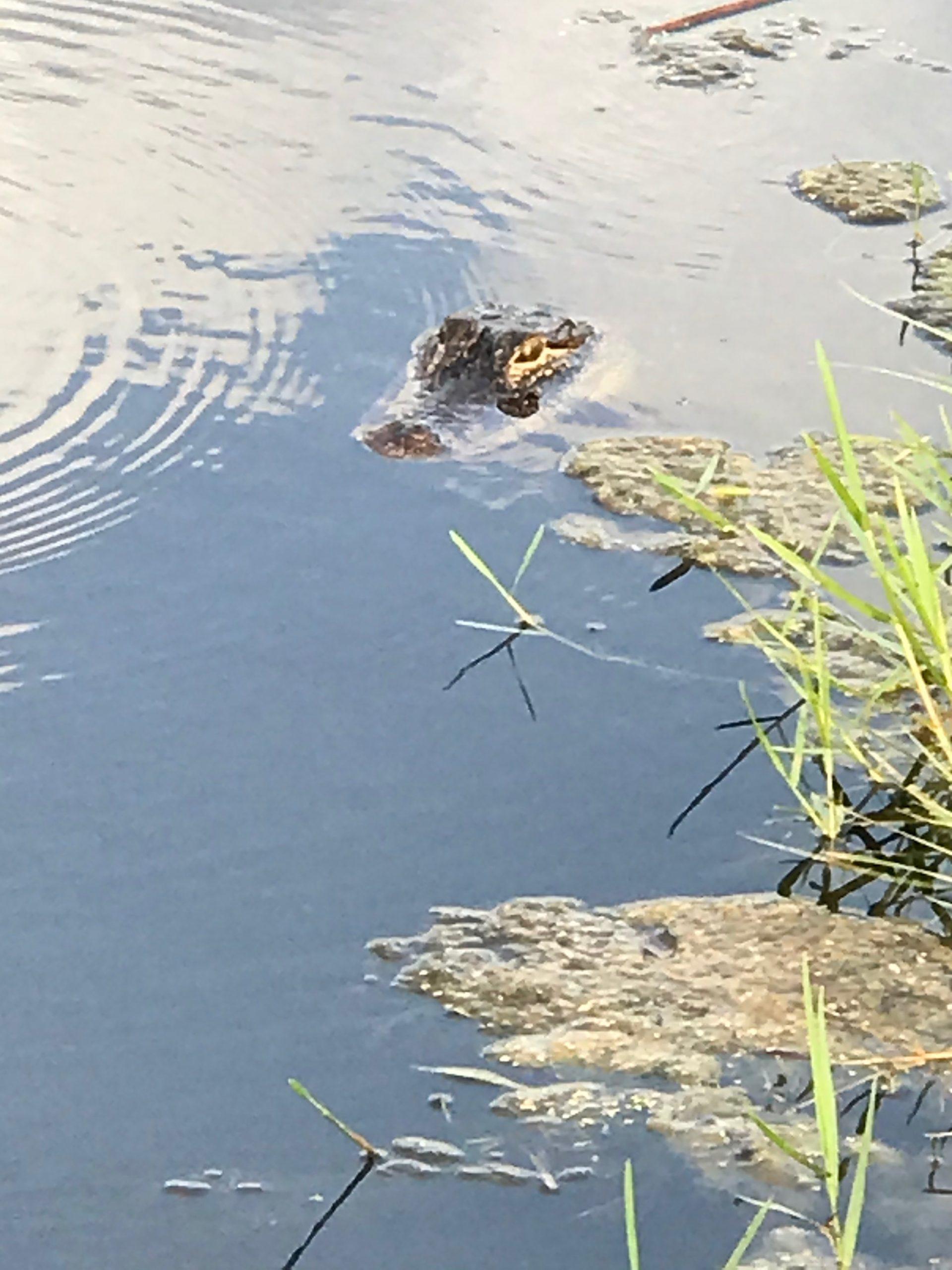 Placido Bayou's Newest Neighbor: A Gator!